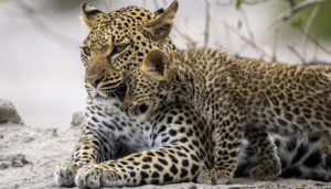 Special leopard encounter on a Botswana safari