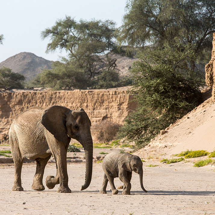 Desert Elephants of Namibia