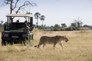 Lion encounters in Botswana
